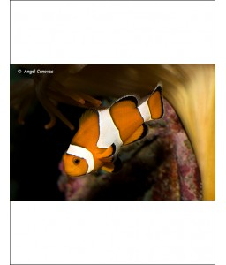 Amphiprion Ocellaris - Pez...